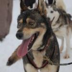 Jazda na psích záprahoch